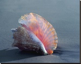 Conch Stretched Canvas Print by Ruth Burke