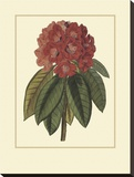 Rhododendron Rojo Stretched Canvas Print by Rafael Landea