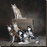 Siberian Huskies (detail) Stretched Canvas Print by Yann Arthus-Bertrand