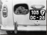 Dog peering from hole in rear of car, 1957 Stretched Canvas Print