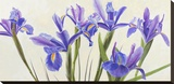 Iris Stretched Canvas Print by Elena Dolci
