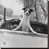 Fox Terrier in convertible, 1953 Stretched Canvas Print