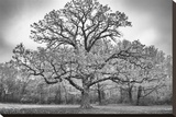 Giant Burr Oak Stretched Canvas Print by Keith Dotson