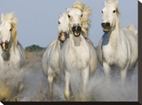 Camargue horses running Stretched Canvas Print by Theo Allofs