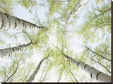 Birch trees in spring Stretched Canvas Print by Daniel Schoenen