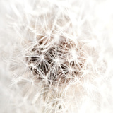 Dandelion&#39;s Heartbeat I Print by Sarah Deluca