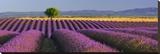 Rows of Lavender Reproducción en lienzo de la lámina por Bryan Peterson