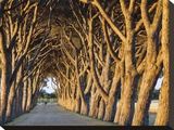 Pine trees lining vineyard driveway (detail) Stretched Canvas Print by Emilio Suetone