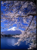 Cherry Blossoms and Mt. Fuji Framed Canvas Print