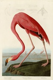 American Flamingo Prints by John James Audubon