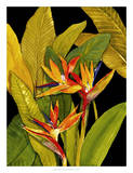 Dramatic Bird of Paradise Giclee Print by Tim O'toole