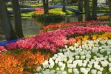 Tulipes de printemps au bord d'une rivière Posters par Mark Bolton