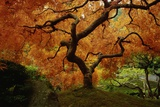Maple Tree in Autumn Poster by John McAnulty