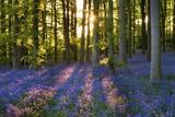 Skov med blåklokker ved Coton Manor Plakater af Clive Nichols