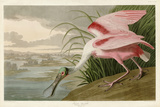 Roseate Spoonbill Art by John James Audubon