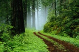 Unpaved Road in Redwoods Forest Plakater af Darrell Gulin