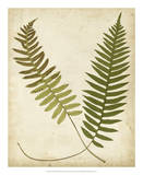 Fern Portfolio III Poster by Francis G. Heath