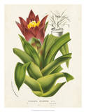 Tropical Bromeliad II Posters by Van Houtteano 