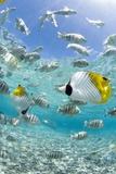 Tropical Fish in Bora-Bora Lagoon Art par Michele Westmorland