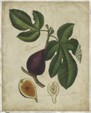 Antique Fig Tree Print by  Weddell