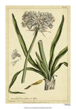 Polianthes, Pl. CCX Giclee Print by Phillip Miller