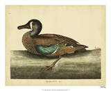 Catesby White-face Teal, Pl. T100 Giclee Print by Mark Catesby