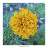 Marigold IV Prints by Megan Meagher