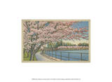 Cherry Blossoms, Potomac Park Posters