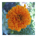 Marigold III Giclee Print by Megan Meagher