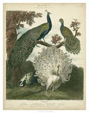 Peacock Gathering Print by Sydenham Teast Edwards