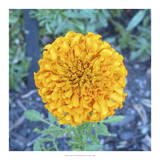 Marigold I Giclee Print by Megan Meagher