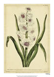 Hyacinthus, Pl. CXLVIII Giclee Print by Phillip Miller