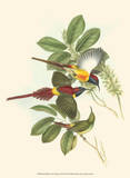 Small Birds of Tropics III Prints by John Gould