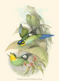 Small Birds of Tropics I Art by John Gould