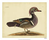 Catesby Summer Duck, Pl. T97 Giclee Print by Mark Catesby