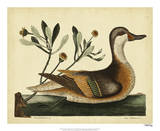 Catesby Ilatheria Duck, Pl. T93 Giclee Print by Mark Catesby