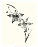 Studies in Ink - Cymbidium Prints by Nan Rae