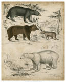 Non-Embellished Species of Bear Affiches