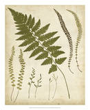 Fern Portfolio II Prints by Francis G. Heath