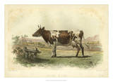Vache D&#39;Ayr Poster by I. Bonheur