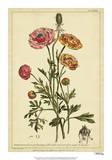 Ranunculus, Pl. CCXVI Posters by Phillip Miller