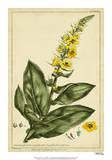 Verbascum, Pl. CCLXXIII Giclee Print by Phillip Miller