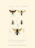 Antique Bees I Poster von  Blanchard