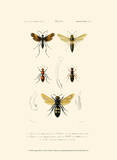 Antique Bees I Poster by  Blanchard