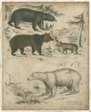 Species of Bear Prints