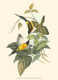 Small Birds of Tropics IV Poster by John Gould