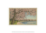 Wash. Monument & Cherry Blossoms Posters