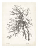 Beech Tree Study Print
