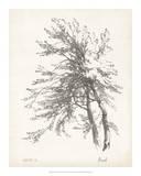 Beech Tree Study Giclee Print