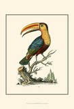 The Toco Toucan Prints by George Edwards